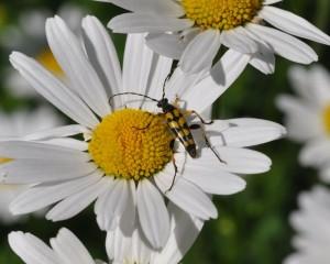 Rutpela maculata 250514