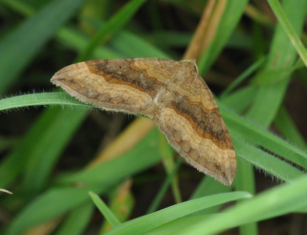 Scotopteryx chenopodiata Braubinden-Wellenstriemenspanner 22072014