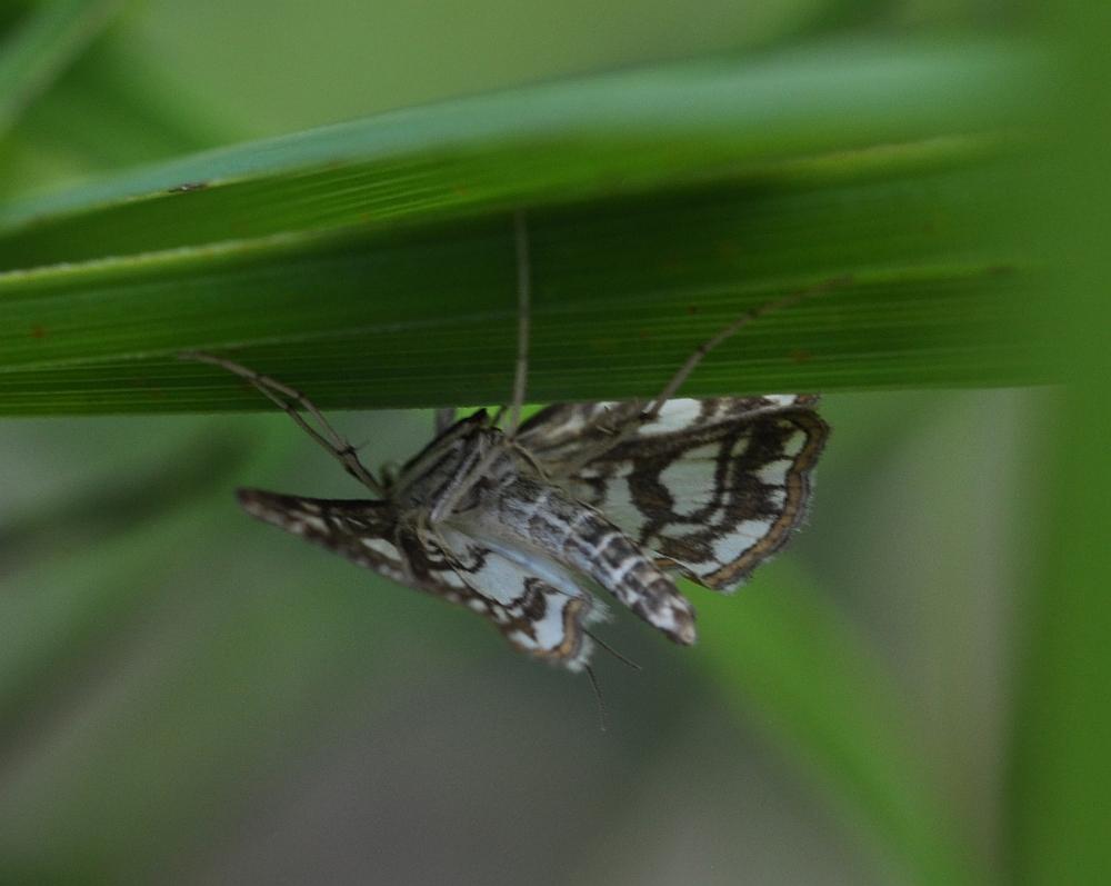 Wasserzünsler Nymphula nitidulata stagnata