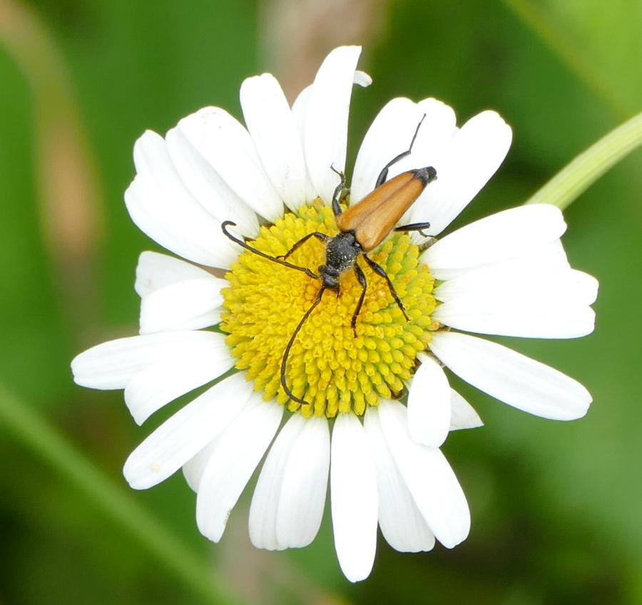 Käfer unbestimmt 15JUL05